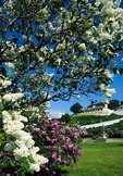 Mackinac Island lilac trees in summer with Fort Mackinac and Father Marquette statue in background