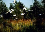 Egrets at Pointe Mouille State Game Area along Lake Erie
