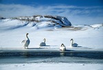Swans in winter along Platte River where it enters Lake Michigan in Sleeping Bear Dunes National Lakeshore
