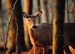 White-tail deer in spring