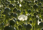 Opium poppies growing in legally controlled field in central Anatolia