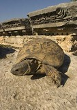 Tortoise among the Roman ruins of Perge