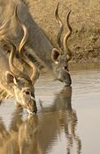 Kudus at water hole in the Etosha Pan