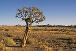Quiver tree or kokerboom (aloe dichtoma) in Kalahari desert of southern Namibia