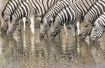Burchell Zebras at water hole in Namibia's Etosha National Park