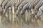 Burchell Zebras at water hole in Namibia's Etosha National Park