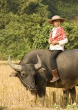 Farm girl riding water buffalo in countryside near Lao Cai in northern Vietnam