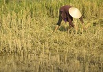Vietnamese farmer harvesting rice by hand east of Hanoi