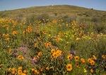 Namaqualand spring wildflowers near Kamieskroon