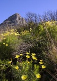 Cape Town's Lions Head peak spring wildflowers