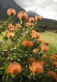 Kirstenbosch National Botanical Garden pincushion proteas with Castle Rock in background