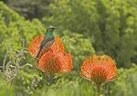 Kirstenbosch National Botanical Garden with southern lesser doublecollared sunbird perched on pincushion proteas