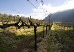 Established grape vines in Cape Winelands vineyard in Drakenstein Valley near Paarl in early spring