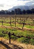 Established grape vines in Cape Winelands vineyard in Drakenstein Valley near Paarl in early spring