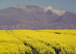 Flowering yellow canola field with Piketberg mountain in Western Cape