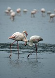 Greater flamingoes wading in lagoon of Sandwich Harbour near Walvis Bay, Namibia