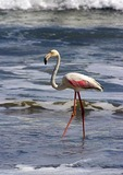 Greater flamingo wading in surf of Sandwich Harbour near Walvis Bay, Namibia