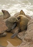 Cape fur seal nursing pup on rocky Atlantic shore at Cape Cross in National West Coast Tourist Recreation Area of Namibia