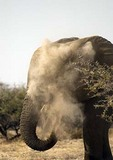 Etosha elephant blowing dust from trunk as bath in the National Park