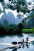 Farmers leading cows across dam on the Jade Dragon River at Gaotian near Yangshuo in the Guilin area of Guangxi