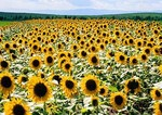 Inner Mongolian field of sunflowers on grasslands south of Hohhot