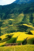 Rice terraces in autumn harvest season in mountainous east Guizhou province