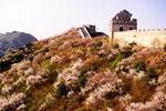 Spring blossoms along Great Wall at Badaling