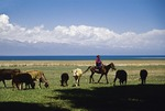 Kyrgyz woman on horseback herding cattle on pasture along shore of Lake Issyk-Kul (Ysyk-Kol) in Kyrgyzstan