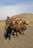 Uighur shepherd on horseback with pack camels along the Silk Road between Turpan and Urumqi in Xinjiang province