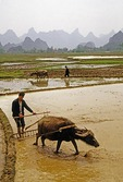 Farmers plowing rice paddies in spring in Guangxi near Guilin