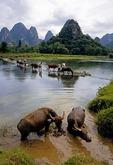 Local farmers with livestock crossing dam on Jade Dragon River (Little Li river) near Gaotian in Yangshuo/Guilin area of Guangxi