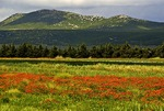 Poppy fields near Vrana, Dalamatian coast of Croatia