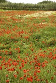 Istrian peninsula field of red poppies in springtime