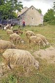 Goat farm in countryside in Vrana region