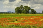 Poppy field near Vrana on Dalmatian coast of Croatia