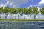 Poplar trees lining the Amsterdam-Rhine Canal