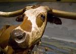 Texas longhorn steer on display at San Antonio's Buckhorn Saloon & Museum