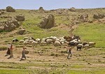 Women and boy herding sheep and goats across hillside in Mount Ararat area near Dogubeyazit
