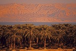 Dead Sea palm trees