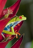 Red eyed tree frog (agalychnis callidryas) in Costa Rica