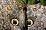 Owl butterfly (caligo species) in Costa Rica