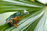 Splendid leaf frog (agalychnis calcarifer) in Costa Rica