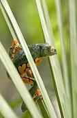 Splendid leaf frog (agalychnis callidryas) in Costa Rica