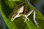 Masked tree frog (smilisca phaeota) in Costa Rica