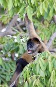 Black handed spider monkey (ateles geoffroy) on Isletas de Granada, island in Lake Nicaragua
