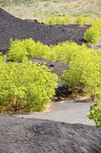 Cerro Negro volcanic debris from lava flow at base of mountain with new tree growth