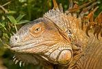 Green iguana (iguana iguana) in Costa Rica
