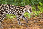Oncilla or tiger cat (leopardus tigrinus) in Costa Rica