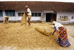 Cochin spice merchant unloading dried ginger