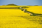 Romanian rapeseed field with winding road in spring in east of country near Black Sea